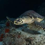 Schildkröte am Hausriff