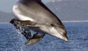 Einer der letzten Adria-Delfine, Foto: U. Kirsch