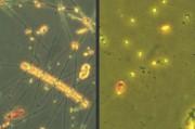 Drastische Veränderungen des Phytoplanktons bei einer Erwärmung um sechs Grad Celsius: Das linke Bild zeigt ein mikroskopisches Foto von der Frühjahrsblüte des Phytoplanktons, wie sie sich unter gegenwärtigen Temperaturverhältnissen ausbildet. Große Kieselalgen dominieren. Bei sechs Grad Celsius Erwärmung (rechtes Bild) dominieren hingegen wesentlich kleinere Flagellaten, Aufnahme: IFM-GEOMAR