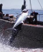 Thunfischfang vor der Küste Spaniens, © Jorge BARTOLOME/WWF-Canon