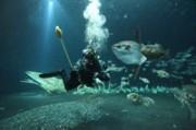 Taucher beim Füttern der Mondfische, Foto: Johannes-Maria Schlorke