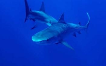 Tigerhai-Pärchen, Foto: Rette den Hai e. V.