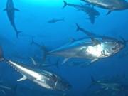 Roter Tunfisch © M. San Felix/WWF