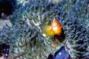 Ein Anemonenfisch (Amphiprion sandaracinos) vor den Küsten der indonesischen Provinz Aceh, Foto: Ramadian Bachtiar