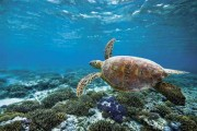 Schildkröte am Great Barrier Reef, Foto: Tourism Queensland