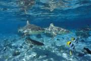 Haie vor Tahiti, Foto: Lionel Pozzoli, Tahiti Tourisme