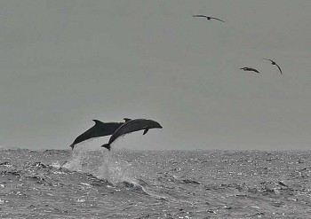 Delphine vor Gomera