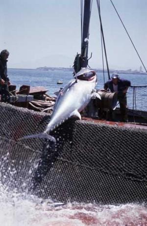 Thunfischfang vor der spanischen Küste