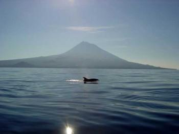 Delphin vor Pico