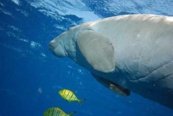 Dugong im Roten Meer