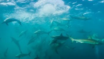 Sardine Run vor Südafrika