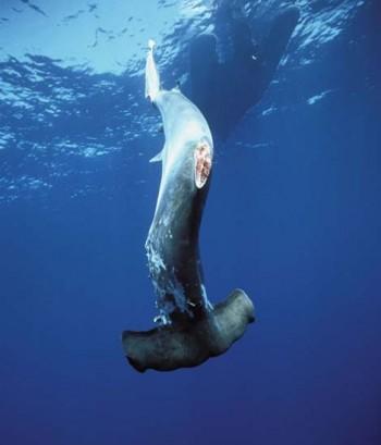 Hammerhai ohne Flossen