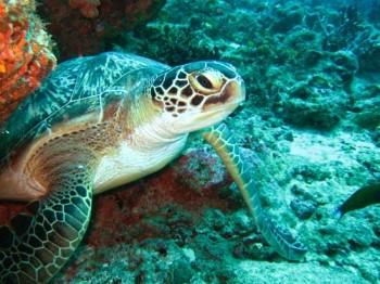 Vilu Reef Schildkroete