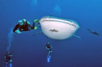 Walhai in Thailand