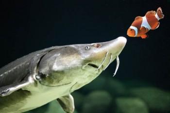 Stör und Anemonenfisch