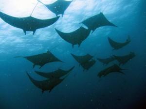 Mantas, Foto: © Euro-Divers