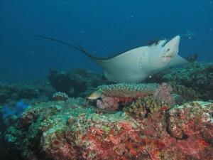 Rochen, Foto: © Euro-Divers