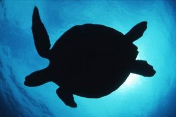 Meeresschildkröte vor São Tomé