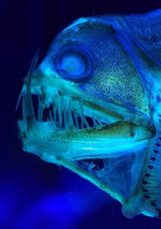 Viperzahnfisch
