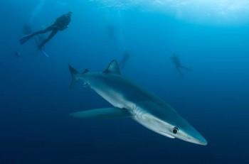 Taucher mit Blauhai