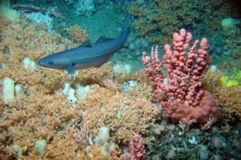 Kaltwasserkorallen-Riff