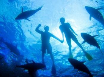 Schnorcheln mit Thunfischen