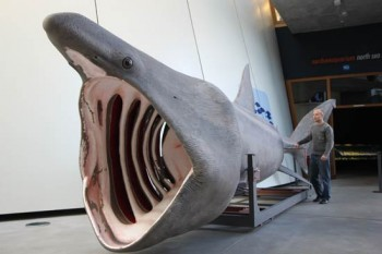 Riesenhai-Modell im Ozeaneum