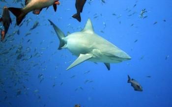 Bullenhai vor Peleliu
