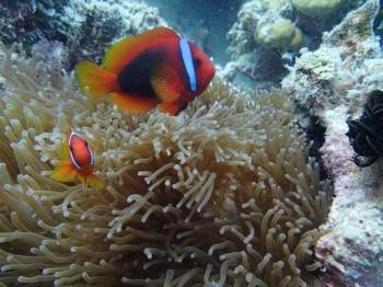 Anemonenfischen begegnet man häufig, Foto: J. Hoppe