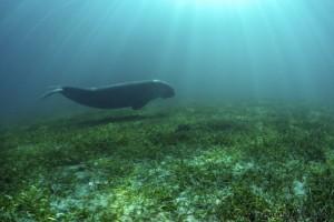 Dugong, Foto: Dugong Dive Center