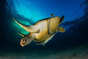 Schildkröte am Hausriff, Foto: © Roman Zabelin