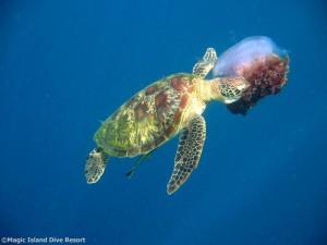 Bevorzuge Nahrung von Schildkröten: Quallen , Foto: © Magic Island Dive Resort