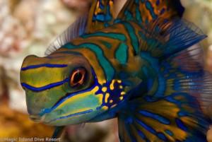 Mandarinfisch , Foto: © Magic Island Dive Resort