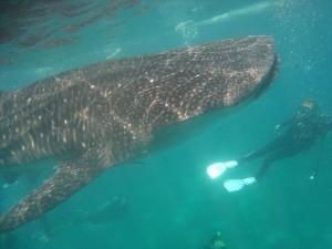 Walhai, Foto © Genesis Divers