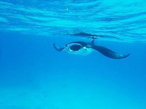 Manta, Foto: © Euro-Divers
