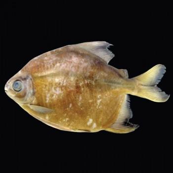 Vegetarischer Piranha
