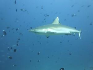 Hai, Foto: © Euro-Divers