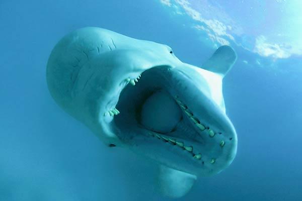 Beluga Wal Gefährlich