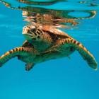 Meereschildkröte