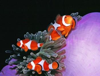 Clownfische, Foto: © Sea Explorers