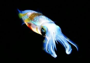 Tintenfisch, Foto: © Sea Explorers