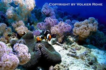 Clownfische, Foto: @ Volker Rohe/Sea Explorers