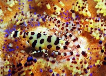 Coleman Garnele, Foto: © Sea Explorers