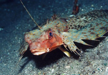 Knurrhahn, Foto: © Sea Explorers
