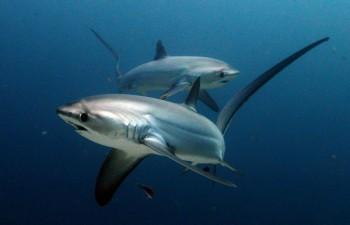 Fuchshaie, Foto: © Sea Explorers