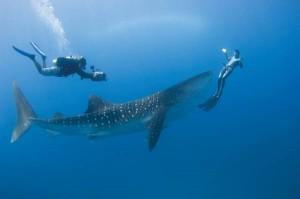Walhai mit Tauchern