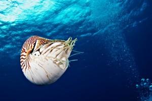 Nautilus-Tauchgang, Foto: © Wendy Capili Wilkie