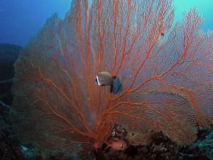 Gorgonie, Foto: © Euro-Divers