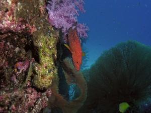 Juwelen-Zackenbarsch, Foto: © Euro-Divers