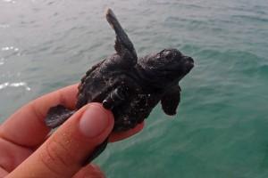 Schildkrötenjunges mit Mini-Sender